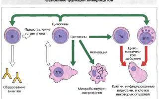 Роль лимфоцитов в организме человека