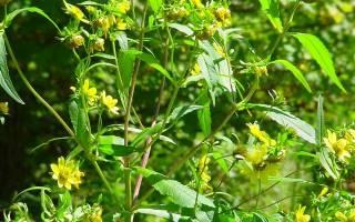 Череда лечебные свойства для кожи при аллергии
